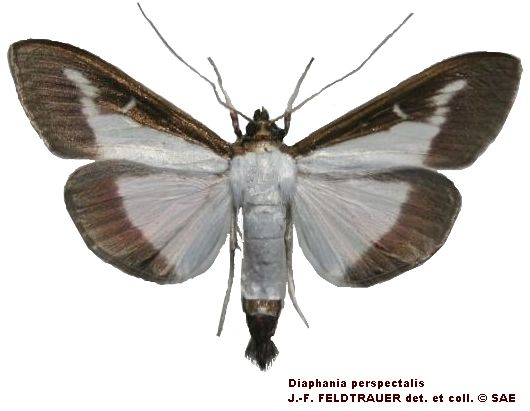 Diaphania_perspectalis_male_C.jpg