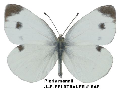 Pieris_mannii_male_C.jpg